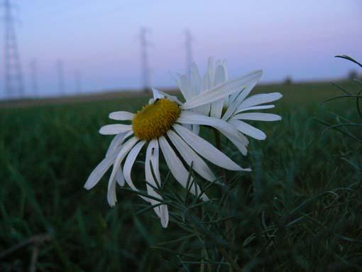 Herbe folle à fleur-  paquerette de Beauce